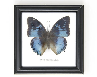 The Western Blue Charaxes (Charaxes smaragdalis) | Real Butterfly Mounted Under Glass, Wall Hanging Home Décor Framed 5 x 5 In. Gift Boxed