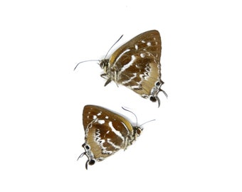 Two (2) The Scarce Silverstreak Butterflies   Irota rochana   Ethical Dry-preserved Unmounted Butterflies for Entomology Collecting