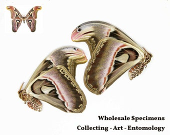 Wholesale Pack of 50 Giant Atlas Moths, Attacus atlas, Preserved Dried & Unmounted Moth Specimens A1 Condition