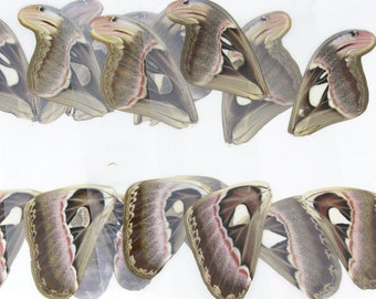2 Laminated Sheets of Real Giant Atlas Moth Wings, Various Assorted   A4 Glossy 150 microns 216x303mm