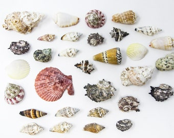 Tropical Sea Shells Collection, Ideal for Collecting, Arts & Crafts, Still Life Drawing, Photography