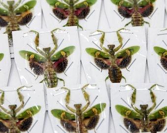 Two (2) Jewelled Flower Praying Mantis | Creobroter gemmatus | Spread Specimens, Entomology