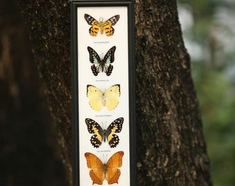 5 Butterflies Framed | Ethical Butterfly Specimens Mounted Under Glass in a Wall Hanging Frame 15 x 5 inches. Gift Boxed