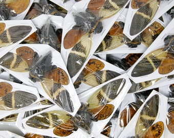 WHOLESALE 20 Giant Coconut Cicadas, Angamiana floridula 135mm | A1 Spread Specimens, Entomology