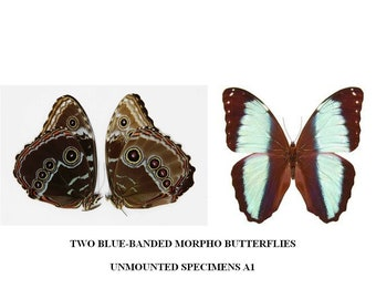 PAIR of Morpho peleides Blue South American Butterflies   The Peleides Blue Morpho   Dry-preserved specimens, papered, unmounted