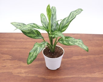 """Chinese Evergreen - 4"""" from Tropical Ambiance"""