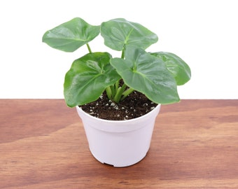 Philodendron Atom - 4'' from Tropical Ambiance
