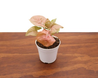 Strawberry Syngonium - 4'' from Tropical Ambiance