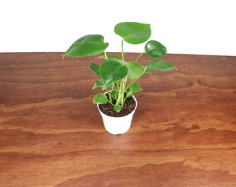 """Monstera Split Leaf - 4"""" from Tropical Ambiance"""