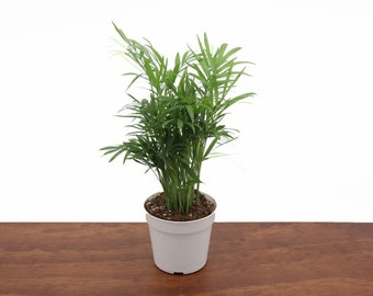 """Neanthe Bella Palm (Victorian Parlor Palm) -4"""" from Tropical Ambiance"""