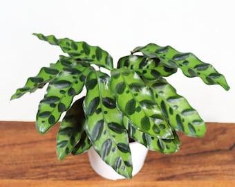 Calathea Rattlesnake Lancifolia - 4'' from Tropical Ambiance