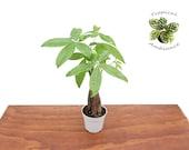Pachira Aquatica Money Tree - 4 39 39 from Tropical Ambiance