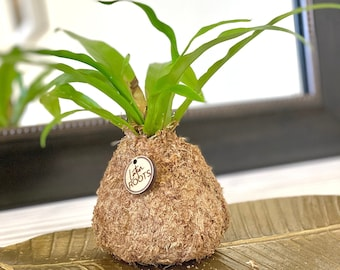 SOLD Small Root Orb - Pothos, Marble Houseplant