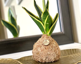 SOLD Small Root Orb - Sansevieria Snake Plant / Mother in law Houseplant