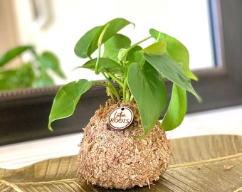 SOLD Small Root Orb - Pothos, Jade Houseplant