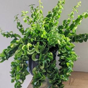 Aeschynanthus Twister 3 X Cuttings Hanging Lipstick Plant Network Flowers
