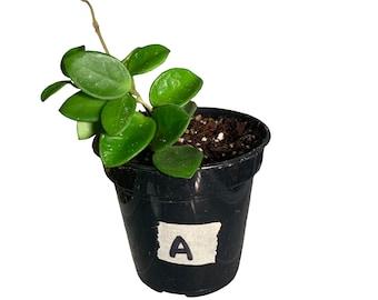 "Hoya Mathilde / 4"" Pot"