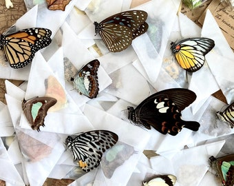 A Pack of 10, 25, 50, 100 Ethically Sourced Butterflies from Malaysia and Peru, Unmounted Butterflies Lepidoptera Farmed Specimens WHOLESALE