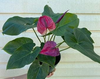 Beautiful Anthurium from Peru   in a 6 inch pot