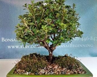 Live Bonsai Tree Etsy