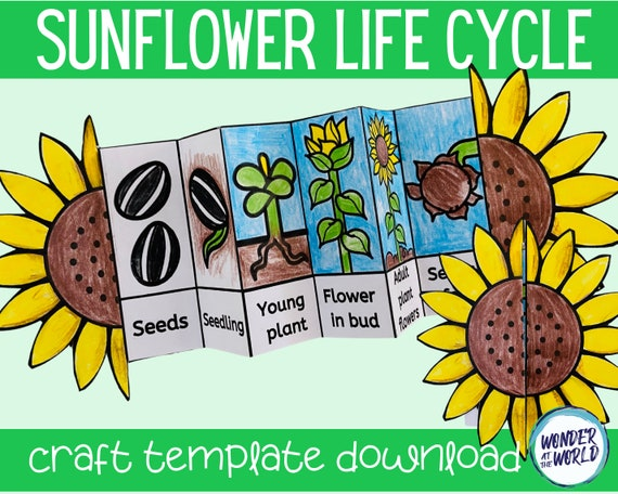 Life cycle of a sunflower foldable kids' craft A4 and   Etsy