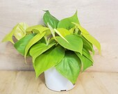 Rare Philodendron Hederaceum Lemon Lime neon cordatum lime green foliage vining house plant in 3 quot , 4 quot or 6 quot pot, also available in cutting