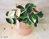Rare Hoya Tricolor Carnosa Krimson Queen Variegated live plant -2 quot ,3 quot ,4 quot ,6 quot pot (bare root )