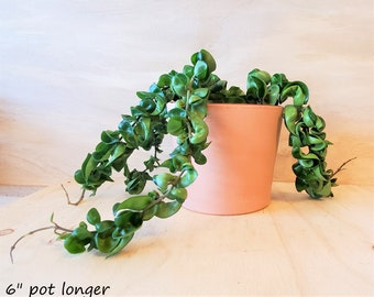 """Full and long Hoya Hindu Rope live plant -in bare root ,3"""",4"""" or 6"""" pot"""