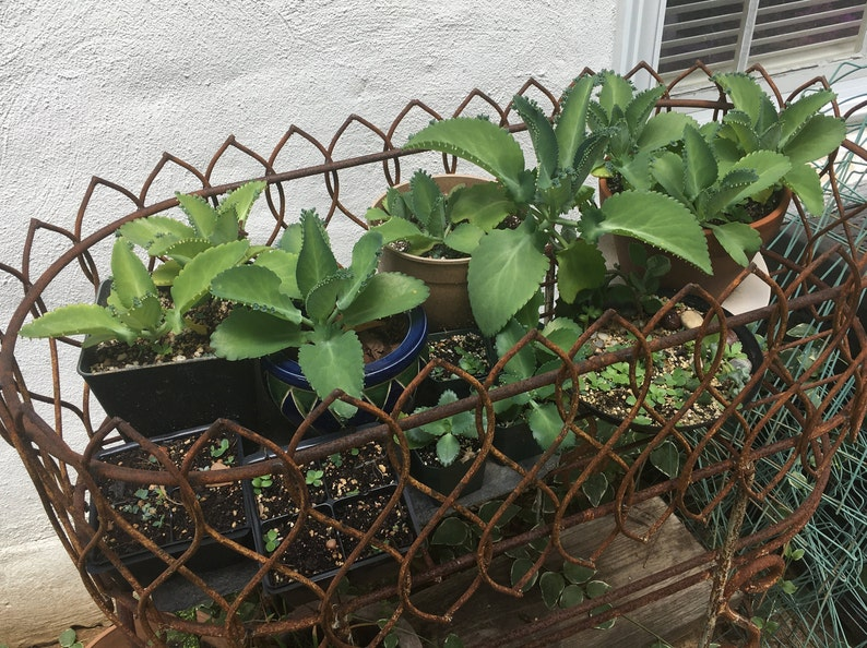 Babies!! SALE!! Rare Succulent Mother of Thousands Kalanchoe 2+ Small Starter Plants