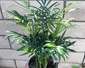 Neanthe Bella Palm, also known as Chamaedorea Elegans Bella , Table Palm, Miniature Fishtail Dwarf Palm, Lucky Palm Parlor Palm