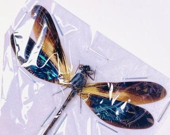 Green blue metalic spread damselfly for artwork Euphaea Variegatta