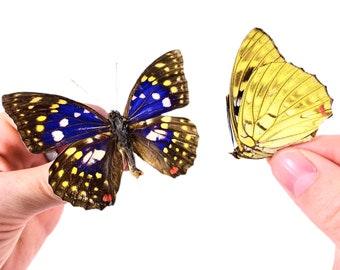 Great Purple Emperor Butterfly Sasakia charonda coreana Real Insect Folded