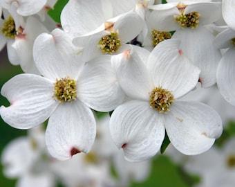 White Flowering Dogwood quart pot