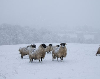 Sheep in Winter | Yorkshire Dales | Photographic Print