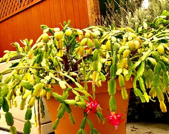 """4"""" 6"""" 8"""" Pot of Rooted Schlumbergera 'Buckleyi', True Christmas Cactus, Old Fashioned Christmas Cactus -Shipped Bare Roots"""