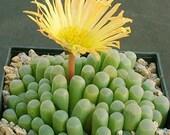 2 quot 4 quot Pot of Fenestraria aurantiaca 39 Baby Toes 39 Window Plant Rare Succulent