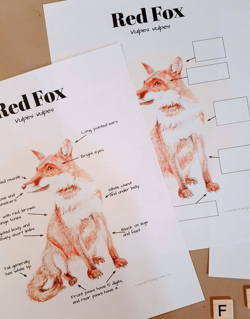 for Elementary Aged Children Red Fox anatomy and facts Lesson plans homeschool notebooking