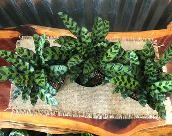 "Rattlesnake Plant -SHOWN IN 6"" Pot - Calathea"