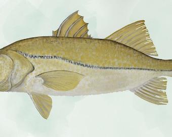 Sheepshead Fish Watercolor Original Painting Print by Brenton Sadreameli 14 x 12