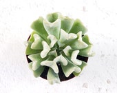 Echeveria Topsy Turvy, Succulent, Live Plant