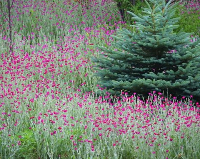 Rose Campion 100 Seeds Heirloom Not Treated Non GMO USA Seller Fast Shipping Lychnis coronaria