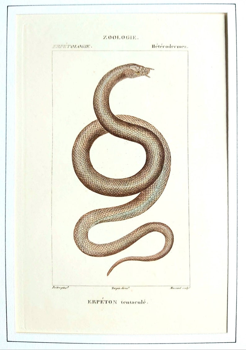 erpetology zoology Snakes Series of 6 hand-colored 19th century engravings Natural History of Lacpede
