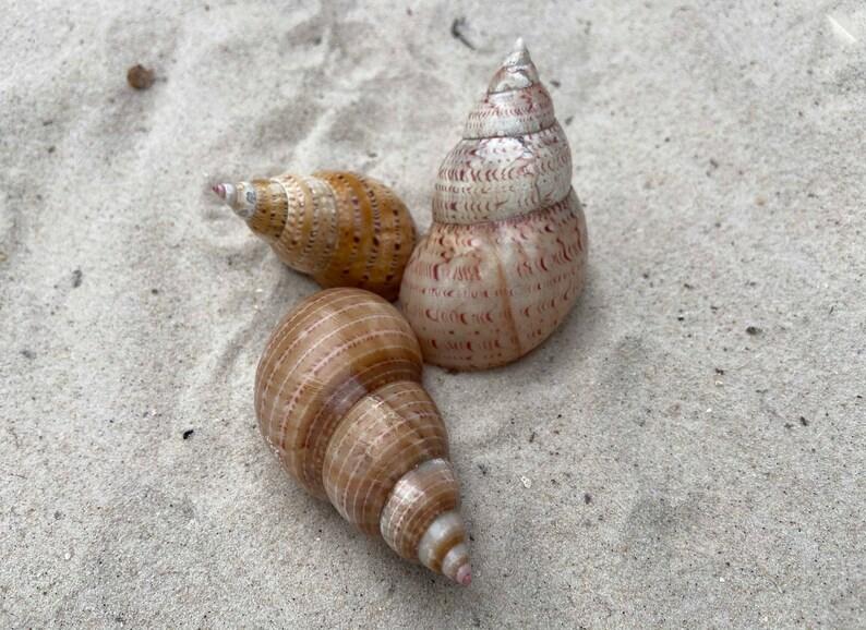 5 Pheasant Shells \u2013 Australian Natural Seashells \u2013 Foraged Sea Shells \u2013 Coastal Craft \u2013 Beach D\u00e9cor Nautical Design