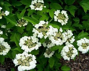 50 seeds Sargent Cranberry Viburnum sargentii