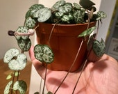 String of Hearts 2 rooted tubers Ceropegia Woodi 20- 40 cm vine