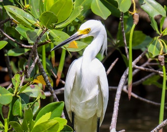 Snowy Egret - Sanibel Island