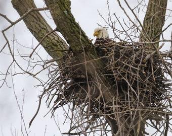 Nest Watch (Bald Eagle on her nest)