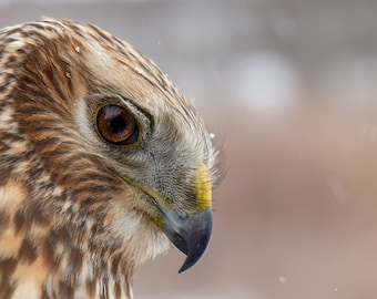 Northern Harrier ( Face Study )