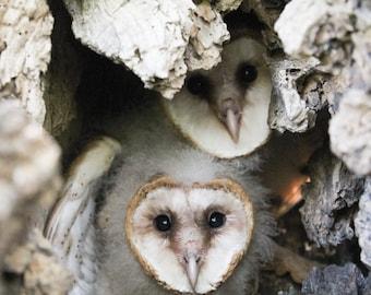 Sibling Surprise (baby Barn Owls)