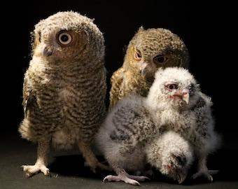 Family Portrait - Captive Bred Eastern Screech Owls